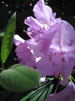 Rhododendron by VincentMatranga