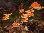 Orange Fungus by Shibumi-Paul