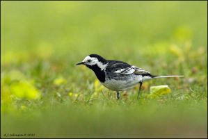 Pied Wagtial by andy-j-s
