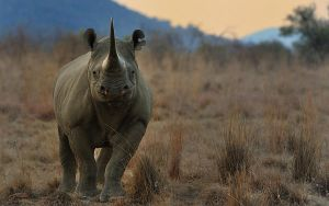 Black Rhino by NagWolf