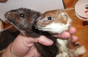 Mink and Stoat for Fossilizedmouse by EternalEmporium
