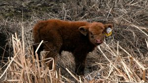 Brown Calf by PixelGordon