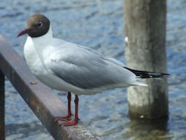 Black-headed Gull by insolitus-mundus