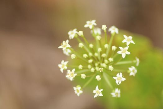 Dollar Weed Flowers by DBoydPhotography