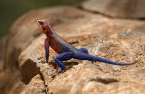 Agama manzea - Spider-Man Lizard by CumbriaCam