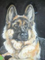 Long coat German Shepherd. by Sheenjek