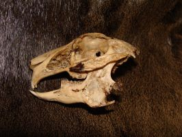 European Hare skull SOLD by Lot1rthylacine