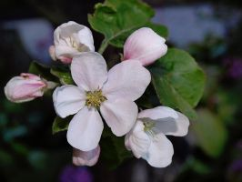 Apple Blossom VI by Xercatos