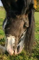 Clydesdale Sabino Gelding Grazing Closeup by LuDa-Stock