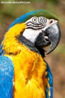 Blue-and-yellow Macaw III by amrodel