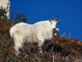 Rocky Mountain Goat by Glacierman54