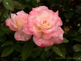 Rainy day roses by desmo100