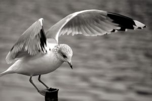 Gull Monochrome 54 by DorianStretton