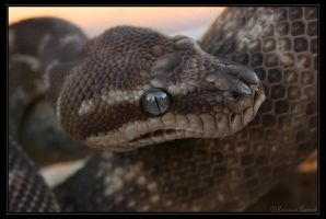 Rough Scaled Python by oOBrieOo