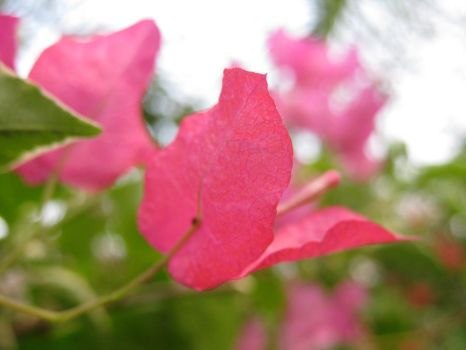 Pink Flower by fishswamp