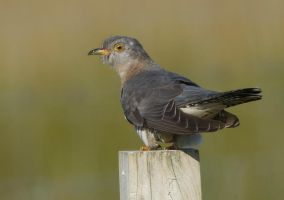 Female cuckoo by Jamie-MacArthur
