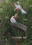 Galahs at the bird-feeder by mfunnell
