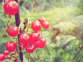 red currant. by Nincebo