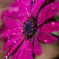 Purple Gazania by FeralWhippet