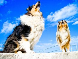 blues collies by hermio