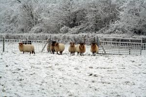 winterland with sheep 1 by priesteres-stock