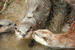 Asian Otters- 'The Kiss' by DingoDogPhotography
