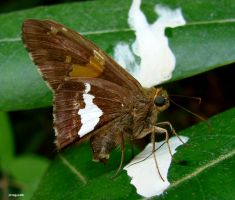 Silver-spotted Skipper 18 2010 by seto2112