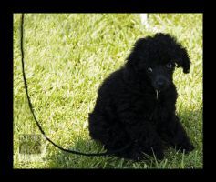 poodle puppy by ntora
