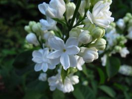 White Lilac by aRetrodude