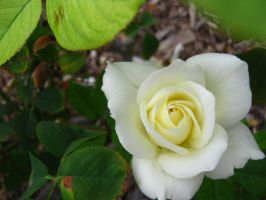 White Rose by my-dog-corky