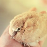 Baby dove ... by aoao2