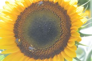 Pollen Station, Bees and Sunflower by Miss-Tbones