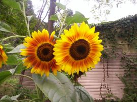 Close Up Two Sunflowers (2) by MindOfPain