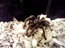 Leland The Tarantula Is SmeXy by AndPlusAmpersandAlso