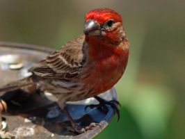 Male House Finch 3 by photographyflower
