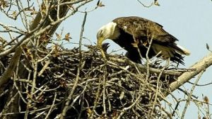 Bald Eagle Nest Whacked for Windmill Tower by Kajm