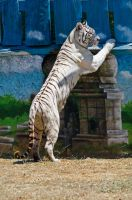 White tiger 2 by agelisgeo