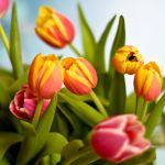 Tulips for Tali by Adour1