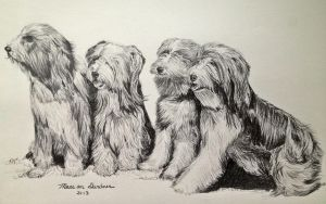 Bearded Collies by mariangrose