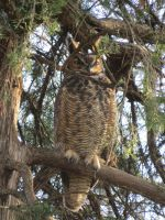 Great Horned Owl by artmusiccw