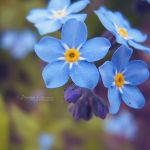 Forget Me Not II by DorotejaC