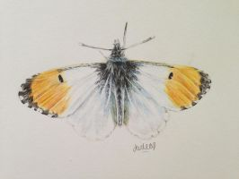 Orange Tip by josephinebruce
