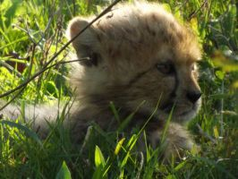 2014 - Cheetah cub 4 by Lena-Panthera