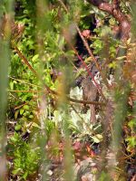 Can you spot the Prinia? by jellybush