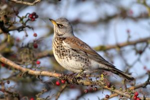 Watchful eye- Fieldfare by Jamie-MacArthur