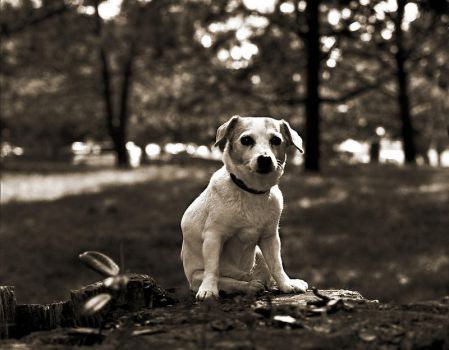 Dog Portraits/Jack Russell Terrier by Elise-in-Oz