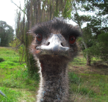 Emu Staring Contest by Galaxianista