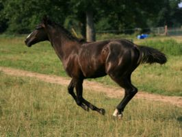 Black Filly 3 .:Stock:. by Photopolis