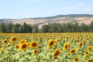 Sunflower Field Stock 4 by SimplyBackgrounds