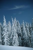 Snowy Spruces 4677341 by StockProject1